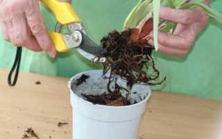 Как из листа вырастить орхидею