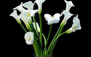Калла цветок смерти почему