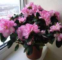 Азалия уход после цветения в домашних условиях