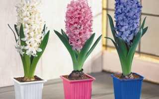 Гиацинты выращивание и уход в домашних условиях
