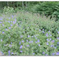 Герань садовая многолетняя