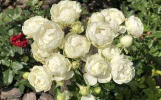 Как правильно пересадить розу на другое место