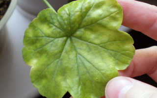 Почему желтеют листья герани в квартире