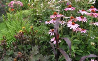 Эхинацея выращивание и уход в саду