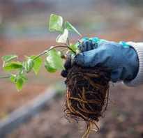 Клематис тунгусский уход и выращивание