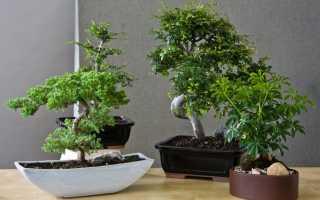 Дерево бонсай уход в домашних условиях