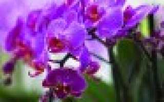 Орхидея вянут листья что делать