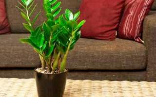 Почему не растет замиокулькас