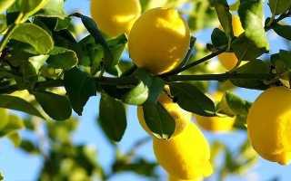 Привить лимон в домашних условиях