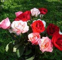Роза из черенка букета в домашних условиях