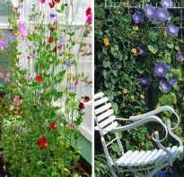 Вьюнки многолетние для сада
