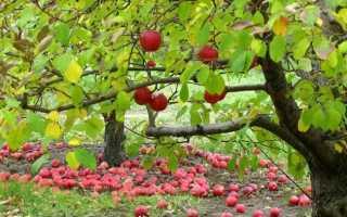 Посадка яблони осенью в подмосковье