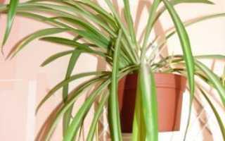 Хлорофитум кудрявый уход в домашних условиях