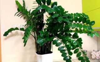 Как вырастить замиокулькас из листа