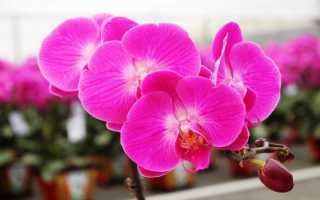 Как заставить орхидею зацвести