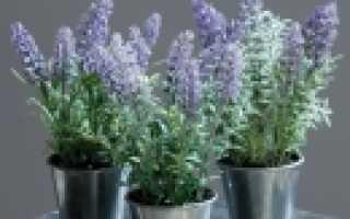 Можно ли выращивать лаванду дома
