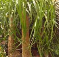Пальма декоративная домашняя