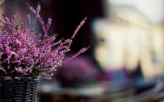 Лаванда выращивание и уход в домашних условиях