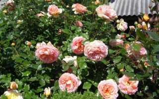 Роза луиза