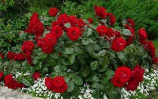 Как пересадить розу осенью на новое место