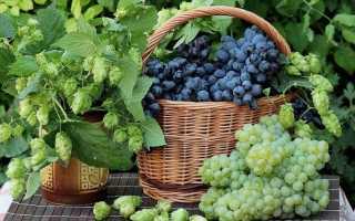 Что делать с черенками винограда осенью