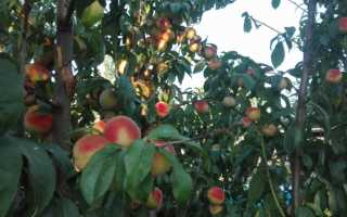 Подкормка персика осенью
