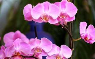 У орхидеи мягкие листья