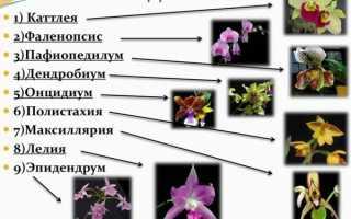 Названия орхидей