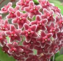 Почему не цветет зефирантес
