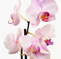 Пересадка орхидеи фаленопсис в домашних условиях