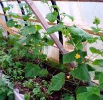 Что можно выращивать в одной теплице одновременно