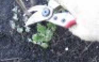 Хризантемы посадка и уход осенью обрезка