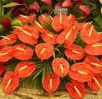 Название цветка мужское счастье