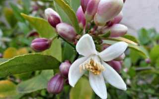 Почему не цветет лимон в домашних условиях