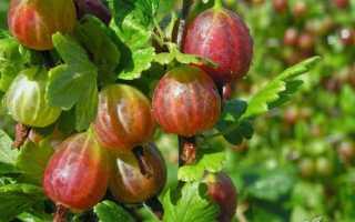 Посадка ягодных кустарников осенью