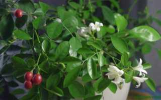 Ангинник цветок лечебные свойства