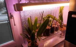 Сколько живут орхидеи фаленопсис в домашних условиях