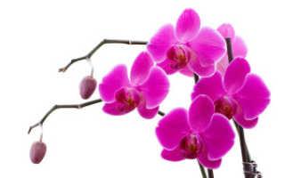 Пятна на листьях орхидеи фаленопсис