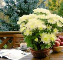 Как ухаживать за домашней хризантемой