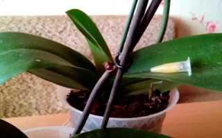 Как взять отросток у орхидеи