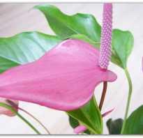 Цветок похожий на спатифиллум