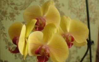 Голден бьюти орхидея