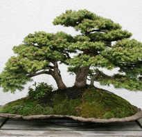 Семена дерева бонсай