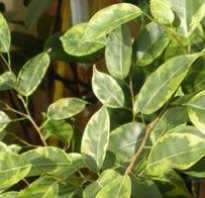 Фикус желтеют и опадают листья что делать