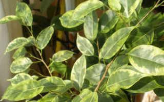 Фикус опадают листья что делать