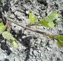 Как правильно посадить виноград осенью саженцами