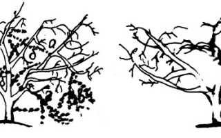 Обрезка косточковых деревьев осенью
