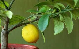 Почему не цветет лимон