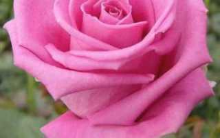 Чайно гибридная роза аква