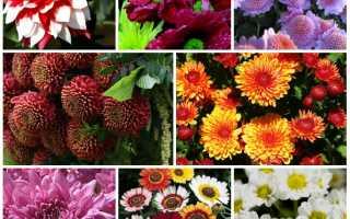 Хризантемы многолетние